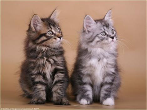 Kurilų trumpauodegės katės News_image_387